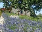 Lavendar in bloom and the cottage terrance