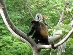 Howler Monkeys Frequent the Property