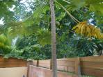 papayer du jardin