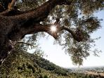 Ancient Olive Tree and Sun
