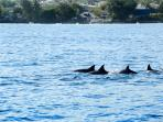 Dolphin watching at Tamarin bay, at 3 Km from the penthouse