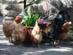 Our chickens are always hungry :o)))