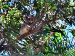 Yes, we do have a resident Koala. Molly can occassionally be found sleeping in the gum trees.