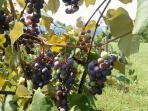 concord grapes on property