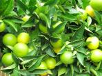 The citrus fruit season December to March with the famous Menton Lemon Festival in February