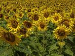 Nearby field of Sunflowers