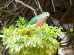 King Parrots at Brentwood.