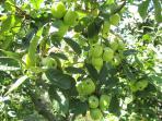apples - limoncella