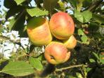 apples - annurca