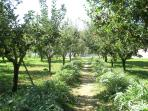 pathway of artichokes and apple trees (different qualities)