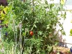 Have an organic tomato if you find one growing and it's ready to pick!