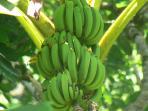 Bananas are plentiful in the area.