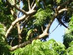 A pair of Cayman parrots can be seen daily in this tree by the pool.