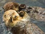 Look for Sea Otters in the Sea Kelp