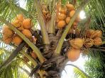 le fameux cocotier en libre service pour vous