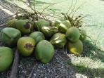 Freshly picked coconuts from the garden