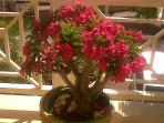 Desert Rose on the Terrace