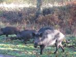 Wild boar can now be found all over the Forst including in our local woods