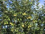 Il vecchio melo