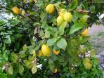 Nos véritable citrons de Menton
