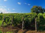 Vineyards in the village - 5 minutes walk
