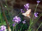 Hummingbird Moth on Lavender