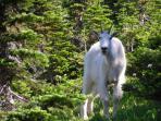 Goat in Glacier Park