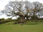 600 years old oak trees on farm