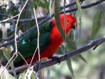 King Parrot ...