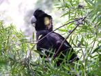 Yellow Tailed Black Cockatoo ...