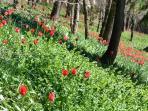 Il parco reale: fioritura dei tulipani.