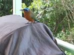 Friendly motmot came to visit.