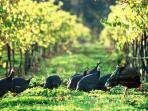 Guinea Fowl Wandering Cape Grace Wines | Margaret River