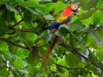 Scarlet Macaws often seen from the property.