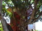 Niché dans les branches d'un manguier centenaire
