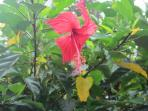 Beautiful hibiscus trees adorn the property providing privacy, shade and lots of colourful flowers.