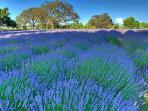 Enjoy the sight of the beautiful lavender fields in July and August