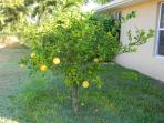 Our Own Lemon Tree. If They're Ripe, Help Yourself!