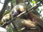 Your neighbor!  Our local sloth lives in the protected forest alongside our property.