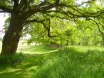 An ancient oak in the corner of the meadow