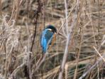 Kingfishers perch