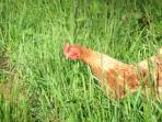 Laying hens perusing for bugs