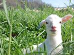 Lamb playing in the pasture