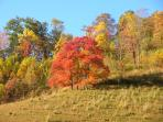 Sassafras trees on the farm hillside