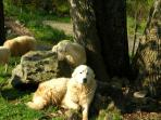 Sam our friendly guardian great pyrenees