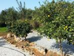 Orange and lemon trees are in the garden - feel free to help yourself!