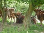 Meet the highland cows