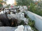The goats that pass by the villas at least twice daily...