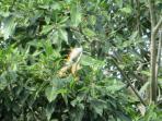 Beautiful iguana tree in the front yard