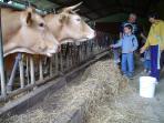 Alimentando las vacas